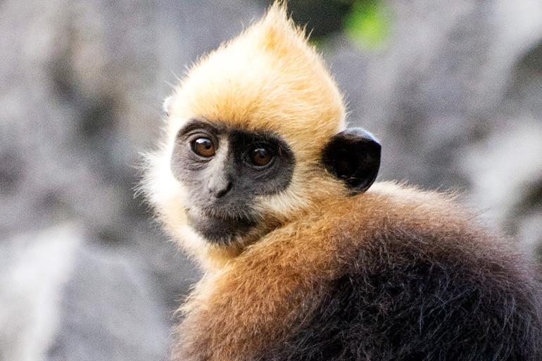 A Red Shanked Douc Langur