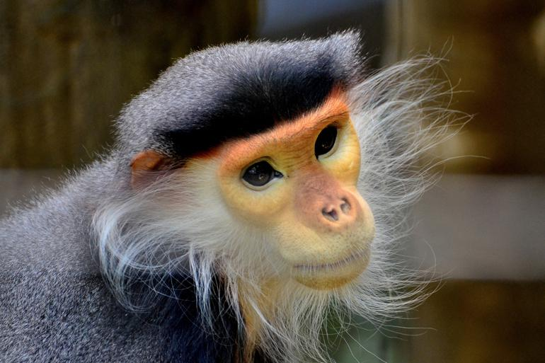 Help protect Vietnam's natural and cultural resources, like the native langurs @Toshihiro Gamo
