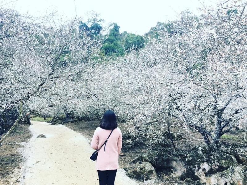 Tour Moc Chau this season watching plum flowers bloom white