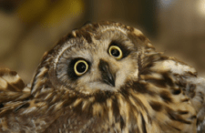 An Owl Story of Survial