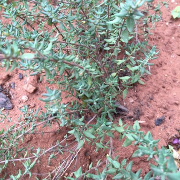 Thyme going strong