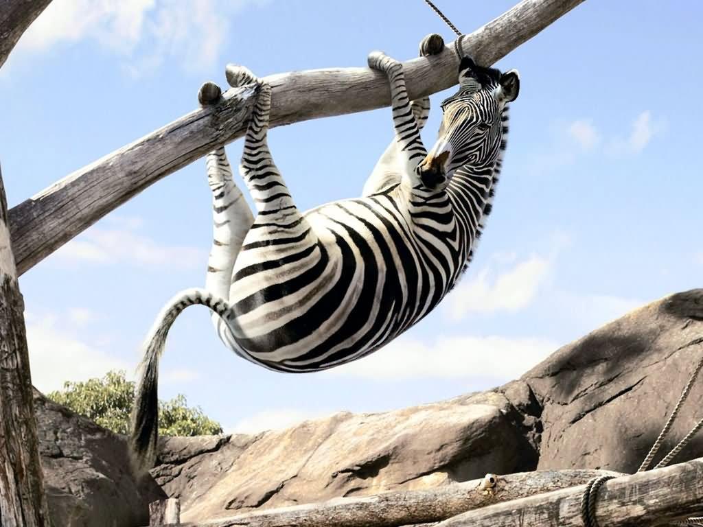 Zebra Stripes Dress For Girl Funny Poster