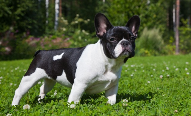 black and white french bulldog in grass