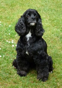 Image result for picture of black cocker spaniel