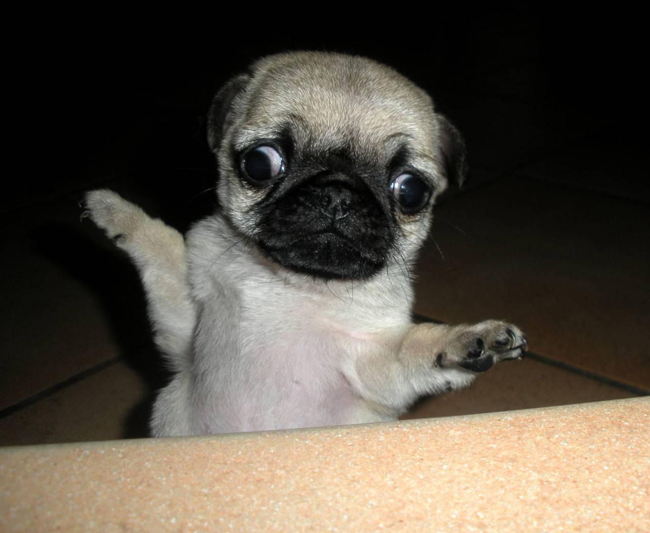 Cute Pug Puppy In Box