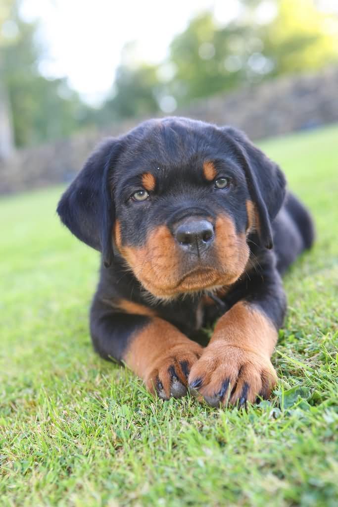 Puppies Wallpaper Rottweiler