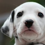 35 Very Beautiful Dalmatian Dog Photos And Pictures