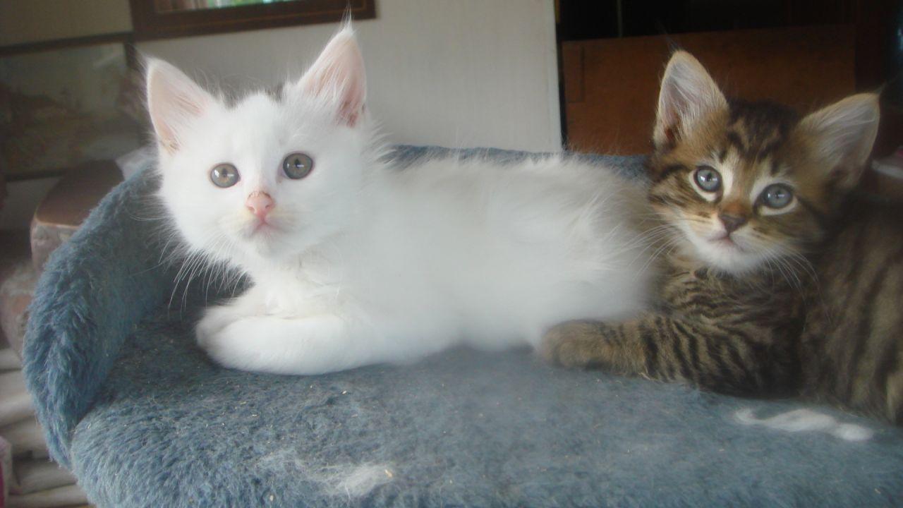 50 Most Beautiful Turkish Angora Kitten Pictures