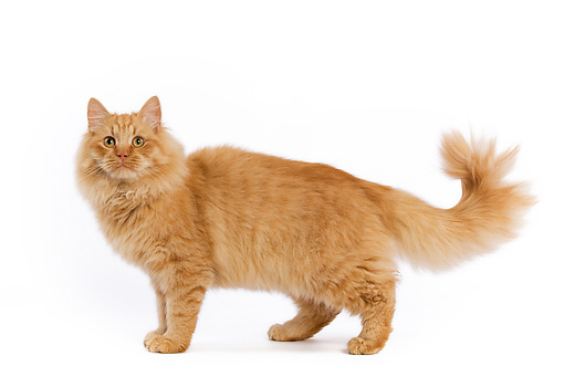 30 Very Beautiful Siberian Cat Photos And Images