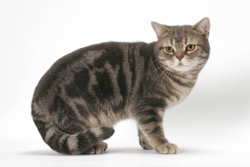 40 Most Beautiful American Shorthair Cat Pictures And Photos