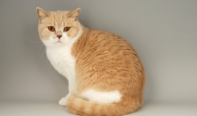 25 Most Adorable Orange American Shorthair Cat Pictures