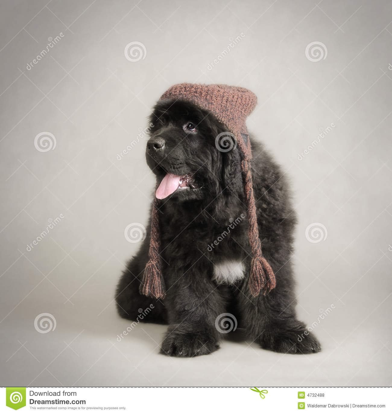 35 Most Beautiful Newfoundland Puppy Pictures And Photos