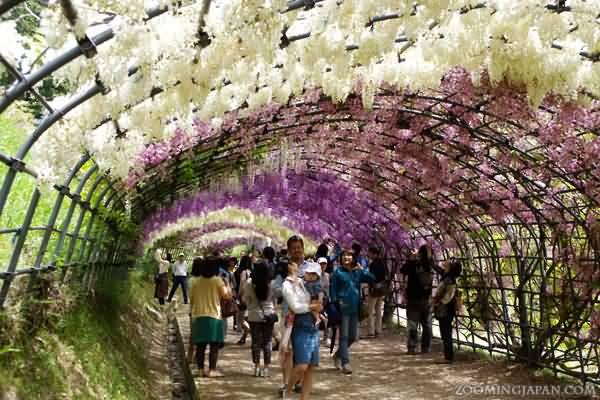 Visitors Enjoying The View Of Kawachi Fuji Garden In