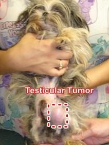testicular-tumor-dog
