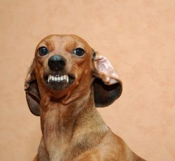 Multi Dog Households Aggressive Dachshund Ask The Dog