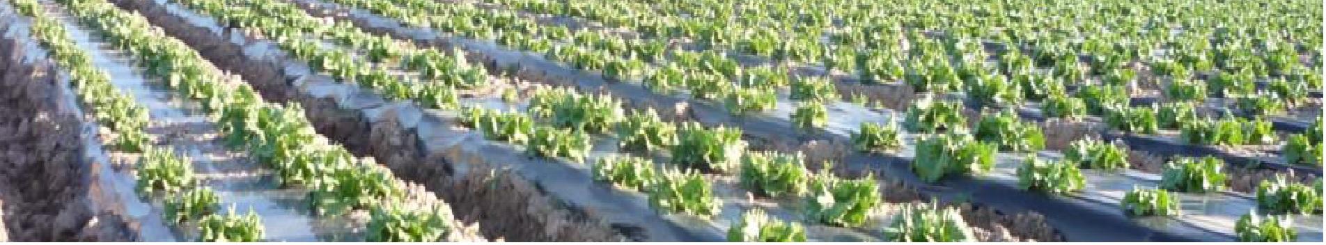 Siguen las iniciativas de uso de acolchado biodegradable en España