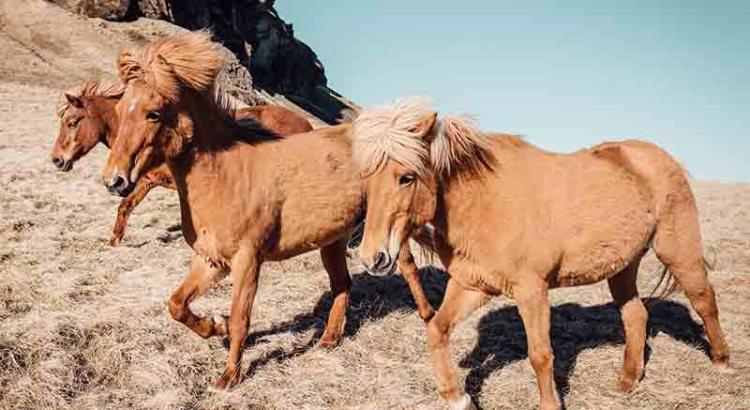 cavalli vapore in inglese