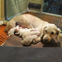 Mother dog with pups in a small caged area at a puppy mill.