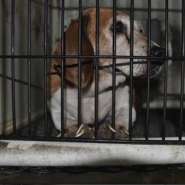 Adult beagle laying down in cage all worn out.