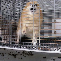Pomarianian in a small cage for the rest of her life at a puppy mill.