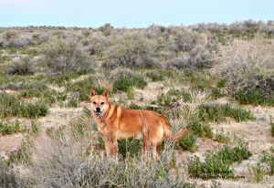 Schatzie my Carolina Dog