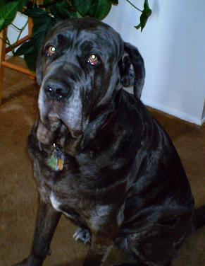 Neo Mastiff's serious look