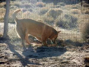 Carolina Dog digging