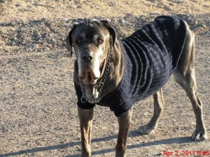 Elderly Neo Mastiff with sweater on