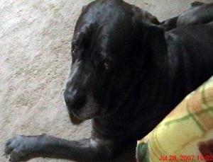 Chagrined Neo Mastiff