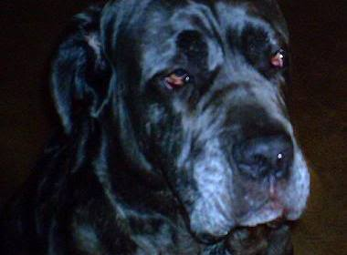 The Most SCENTS-able Neo Mastiff!