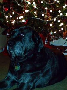 Neo Mastiff in front of Christmas tree
