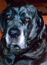 Neo Mastiff face