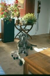 Neo Mastiff with his ferret toy