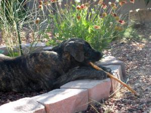 Great Dane puppy gnawing on stick in garden