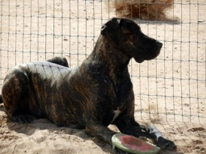 Great Dane with frisbee watching through a fence