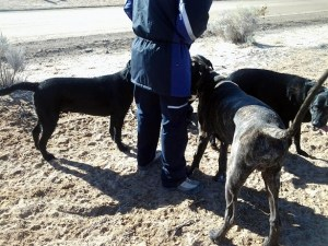 Woman with two Labs and a Dane pup