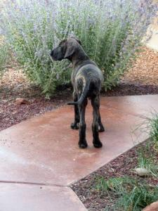 Great Dane puppy looking for his human