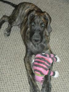Great Dane puppy with his Big Mean Kitty toy