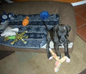 Great Dane puppy with lots of toys