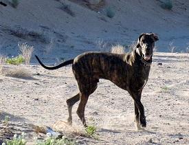 Great Dane on arroyo walk