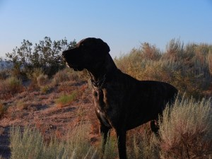Great Dane posing in Southwestern desert field