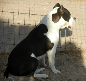 American Bully dog sitting at his fence