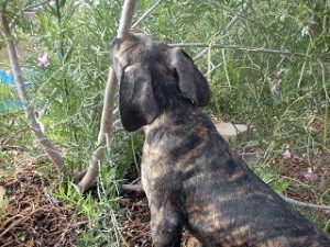 Great Dane puppy tasting a tree