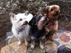 Three small dogs
