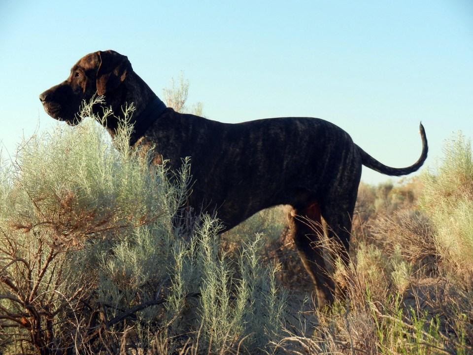 Great Dane on morning walk