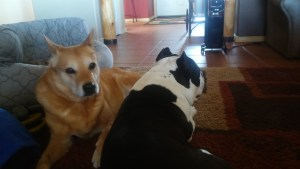 Carolina Dog and American Bully dog hanging out together