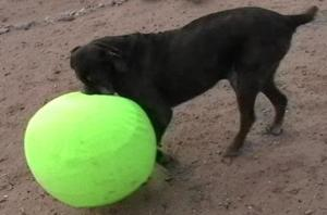 Shadrach the Neo Mastiff with his Canine Spirit Ball