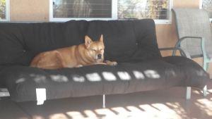 Carolina Dog on futon