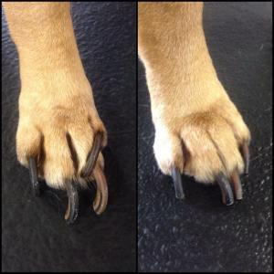 Dog needing nail trim