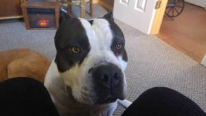 American Bully dog making is opinion heard